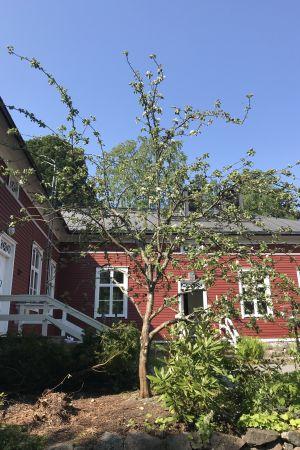Äppelträd på innergård
