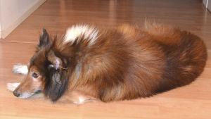 Shetlanninlammaskoira Riku lepää lattialla