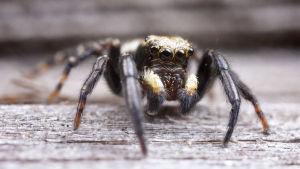 runkohyppyhämähäkki
