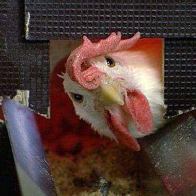 Kana kurkistaa ruokintalinjan aukosta