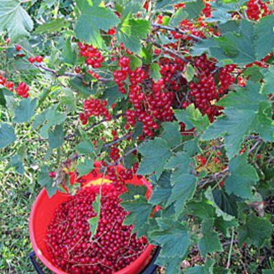 Punaherukkaa pensaassa ja kerättynä ämpärissä.