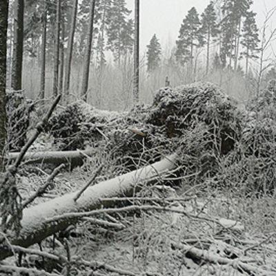 Myrskyn kaatamia puita metsässä.