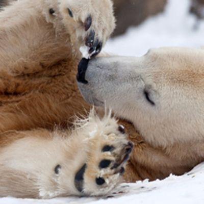 Jääkarhu Knut kuvattuna kotonaan Berliinin eläintarhassa.