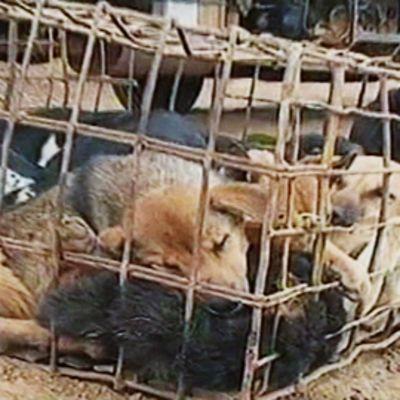 Salakuljetettuja koiria häkissä.