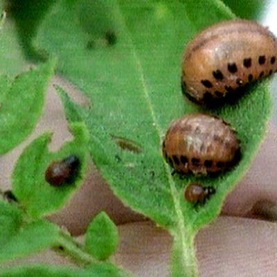 Koloradonkuoriaisen toukkia.