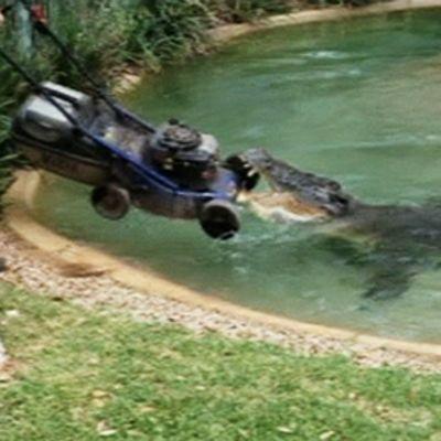 Krokotiili nappaa kiinni ruohonleikkurista.