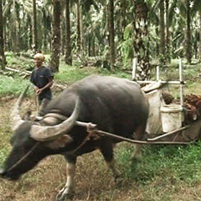Sadonkorjuuta öljypalmuviljemällä Malesiassa.