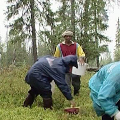 Ulkomaalaisia marjanpoimijoita poimimassa mustikoita