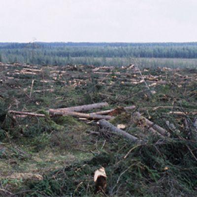 Paljaaksi hakattua metsää
