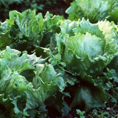 Salaattia kasvimaalla.