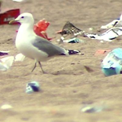 Lokki käveli Hangon rannalla roskien keskellä