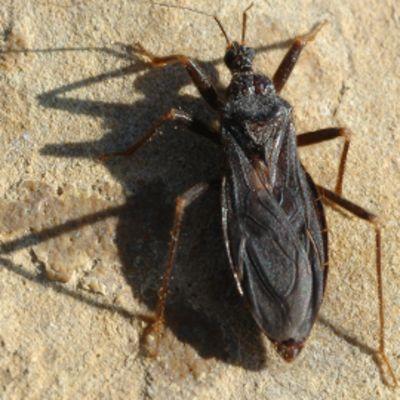 Vornalude (Reduvius personatus).