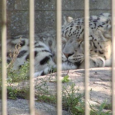 Lumileopardi Korkeasaaren eläintarhassa.