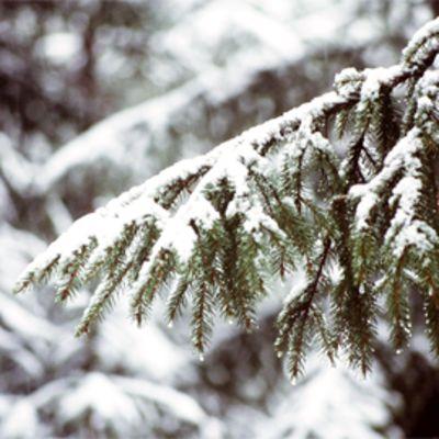 Talvinen havupuumetsä.
