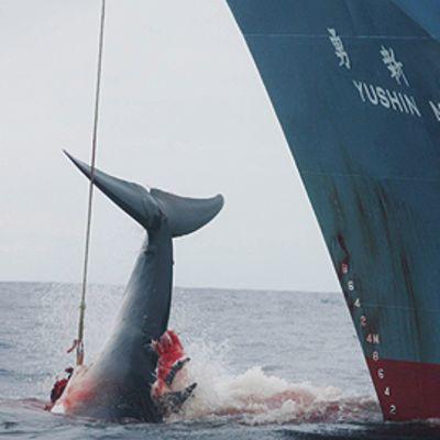Valas, jota on ammuttu harppuunalla laivasta