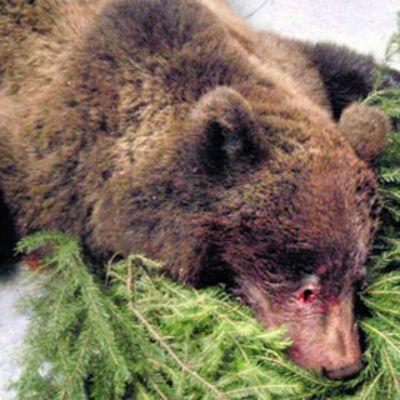 Lopetettu karhu makaa lattialla.