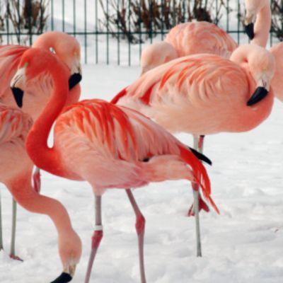 Flamingot seisovat lumisella pihalla Korkeasaaressa.