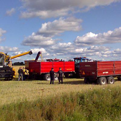 Viljapellolla kaksi punaista traktorin peräkärryä ja puimuri.