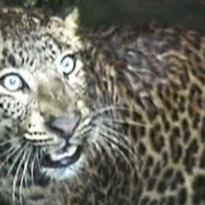 Leopardi pelastettiin kaivosta Intiassa.