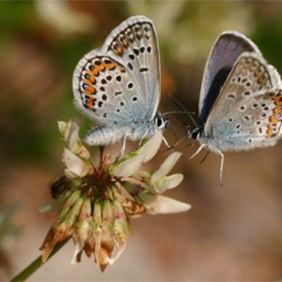 Kaksi kangassinisiipi-perhosta apilankukassa.