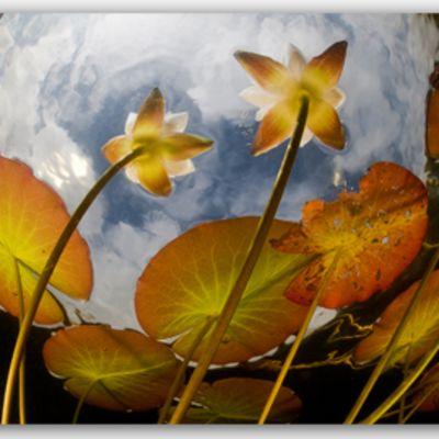 Kellastuneita lumpeenkukkia kuvattuna veden alta kalansilmäobjektiivilla.