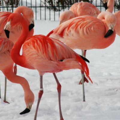Korkeasaaren flamingot aitauksessaan ennen ketun vierailua.