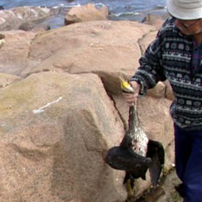 Merimetson metsästystä Ahvenanmaalla 2009