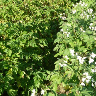 Pohjanmaa on nykyään perunan viljelyn mahti maakunta.