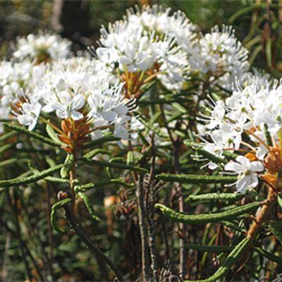 Kukkivia suopursu luonnossa.