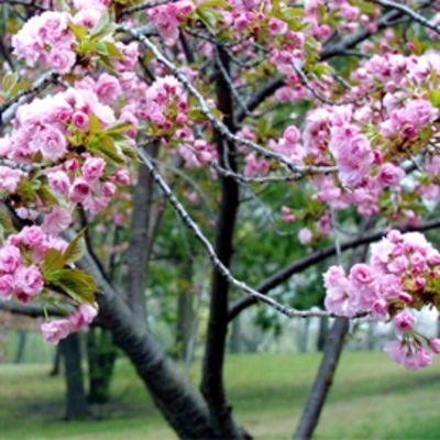 Kirsikkapuu kukkii näyttävästi.