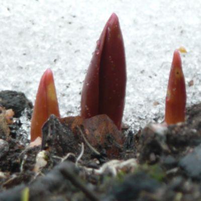 Tulppaaninalkuja lumikasan vieressä