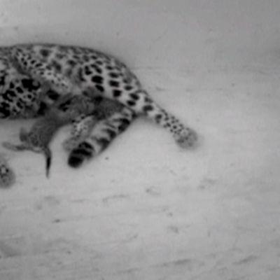 Amurinleopardi ja kaksi pentua.
