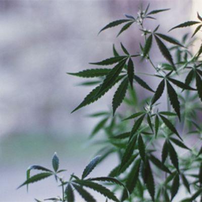 Kannabis-kasvi ikkunalaudalla.