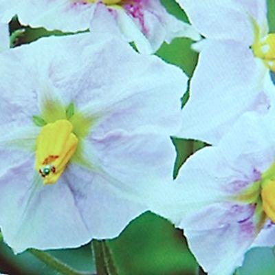 Perunan kukkia