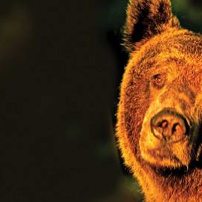 Karhu laskevassa auringossa.
