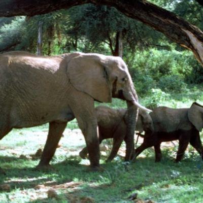 Ekomatkaajien kautta pääsee vaikkapa hoitamaan norsuja lomallaan.