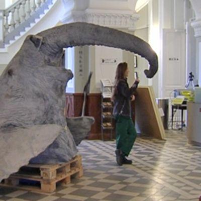 Afrikannorsu-uros Elmeriä voi taas pian käydä katsastamassa Helsingin Luonnontieteellisessä museossa.