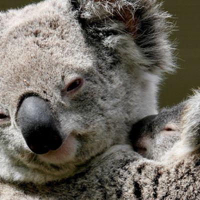 Koalan poikanen emonsa sylissä Sydneyn WildlifeWorld-keskuksessa.