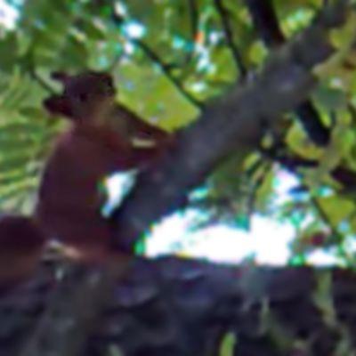 Naukuva orava puussa.