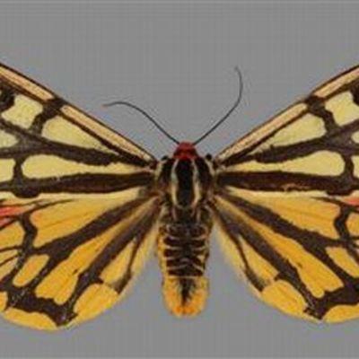 Idänsiilikäs-perhonen on keltaruskea. Pää on punainen, samoin punainen on osa siivistä.