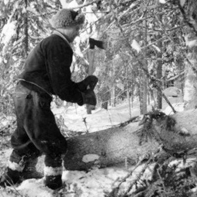 vanhan ajan metsuri karsii kuusta