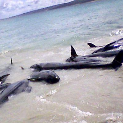 Valaita matalassa rantavedessä.