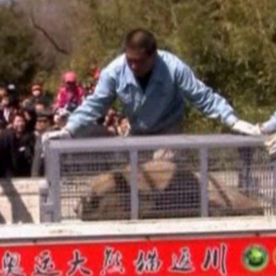Jättiläispandaa siirretään häkissä kuorma-auton lavalle.