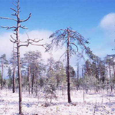 Kuvassa talvinen suomaisema. Etualalla keloutuneitä mäntyjä, maassa hieman luntakin.