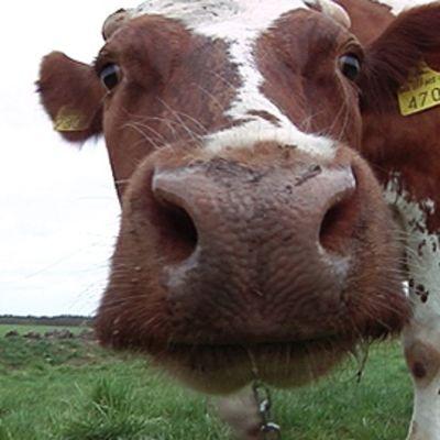 Lehmä tutkii kameraa