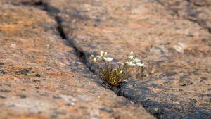 Kukkia Rankin saaren kalliolla