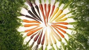 Morötter i olika färger.
