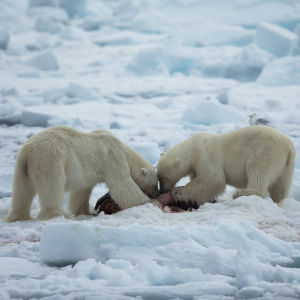 Jääkarhut hylkeenruhon kimpussa.