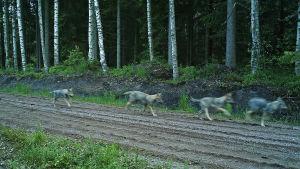 Vargkull på fyra ungar i Raseborg.
