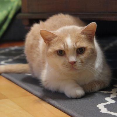 Oranssi-valkoinen kissa makaa lattialla katsoen kameraan.